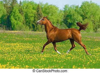 schöne , feld, kastanie, pferd
