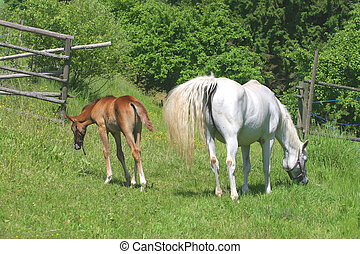 schöne , feld, pferd, gras