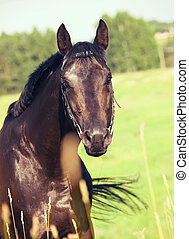 schöne , feld, pferd, schwarz