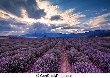 schöne , field., bild, fields., lavendel