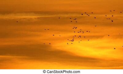 schöne , fliegendes, himmelsgewölbe, sonnenuntergang, ente,...