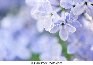 schöne , fruehjahr, hintergrund, mit, lila