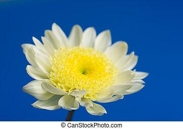 schöne , gänseblumen, in, der, himmelsgewölbe