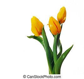 schöne , gelber , tulpen, auf, a, weißer hintergrund