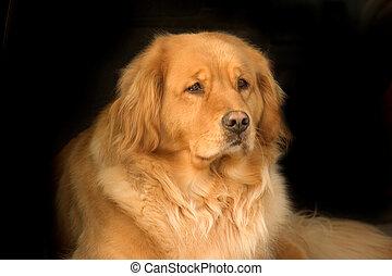 schöne , goldener apportierhund