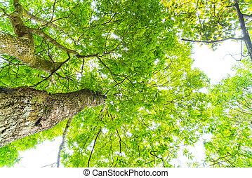 schöne , grüner wald, bäume, .