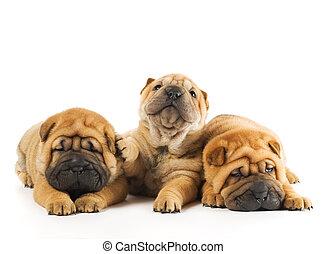 schöne , gruppe, drei, freigestellt, hintergrund, hundebabys, weißes, sharpei