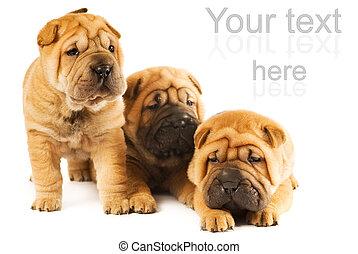 schöne, Gruppe, drei, Freigestellt, hintergrund, hundebabys, weißes,  sharpei