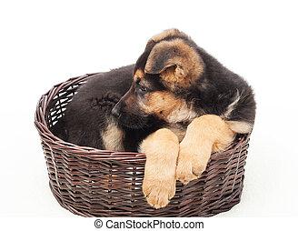 schöne , junger hund, in, a, weidenkorb