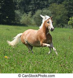 schöne , kastanie, pferd, mit, blond, mähne, rennender , in,...