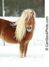 schöne , kastanie, pony, winter, langer, mähne