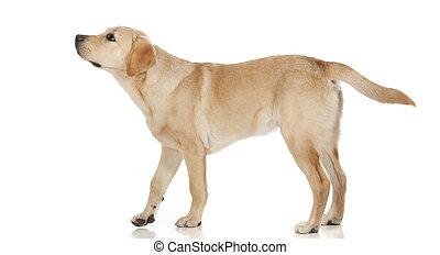 schöne , labrador, freigestellt, hintergrund, weißes,...