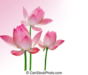 schöne , lotos