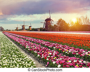 schöne , netherlands, feld, aus, traditionelle , tulpenblüte, majestätisch, dämmern, blumen, windmühle, landschaftsbild