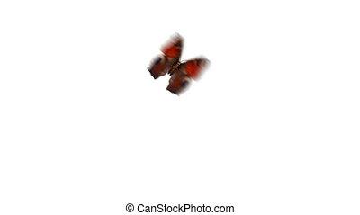 schöne , pfau, io, close-up., fliegendes, loopable, animation, 3840x2160, weiß rot, 3d, papillon, uhd, sitzen, schirm, aglais, channel., hintergrund, alpha, gefärbt, grün, 4k, europäische