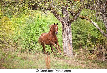 schöne , pferd, galopp, auf, sommer, licht, wiese, frontal