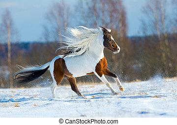 schöne , pferd, schnee, gallops