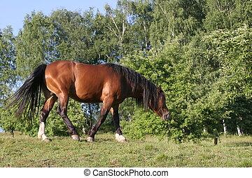 schöne , pferd