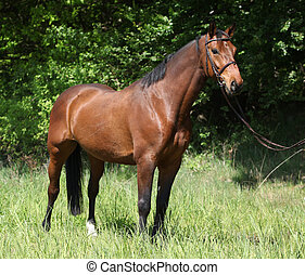 schöne , pferd, zaum, potrait