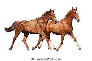 schöne , pferden, zwei, freigestellt, rennender , weißes