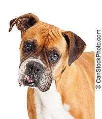 schöne , porträt, boxer, closeup, hund