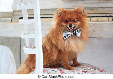 schöne , porträt, puppy., pomeranian