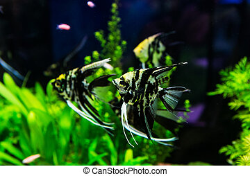 fische s wasser aquarium scalare pterophyllum sch ne stockfoto fotografien und. Black Bedroom Furniture Sets. Home Design Ideas