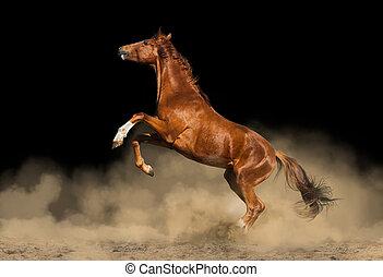schöne , purebred, pferd, aus, a, schwarzer hintergrund, in, staub