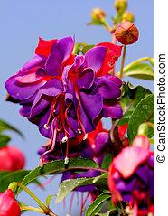 purpurne blumen gewachsen kugel lila auf frisch. Black Bedroom Furniture Sets. Home Design Ideas