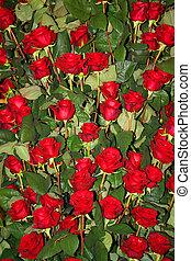 schöne , rose, blumen