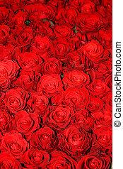 schöne , rose, blumen, rotes