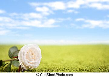 schöne , rose, rasen