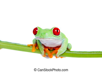 schöne , roter gemusterter baum- frosch, weiß, hintergrund