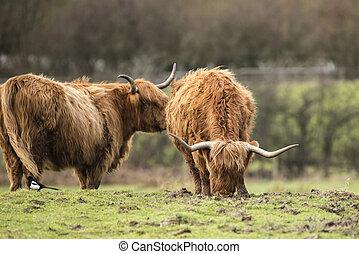 schöne , schottische , hochlandvieh, weiden, in, bauernhof- feld