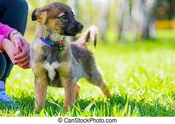 schöne , seine, park, spaziergang, herrin, junger hund