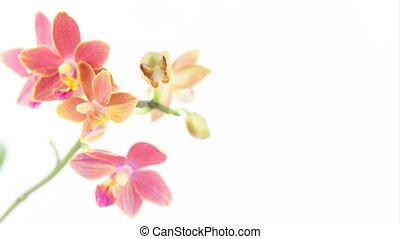 schöne , selten, orchidee, in, topf, weiß, hintergrund