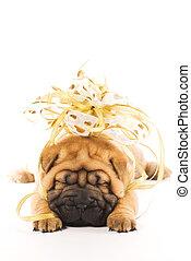 schöne , sharpei, puppie, mit, goldenes, schleife, freigestellt, weiß, hintergrund