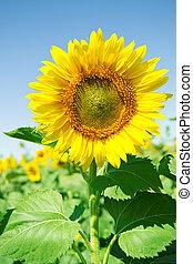 schöne , sonnenblume, in, der, feld, mit, hell blau, himmelsgewölbe