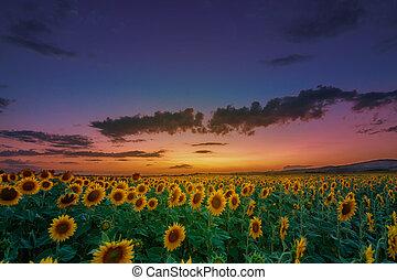 schöne , sonnenuntergang, aus, a, sonnenblumenfeld