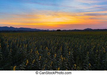 schöne , sonnenuntergang, skyline, aus, sonnenblumenfeld