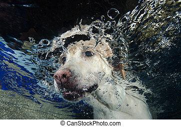 schöne , tauchen, apportierhund, labrador, underwater