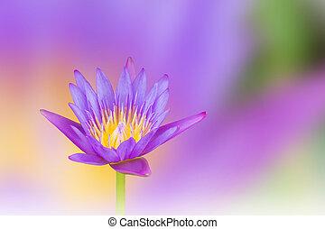 schöne , violett, lila, träumerisch, lotusblüte, auf, weich,...