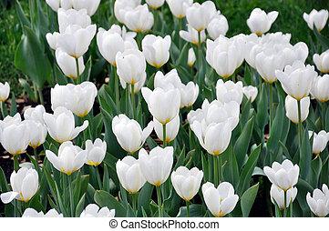 schöne , weißes, tulpen, auf, a, bett