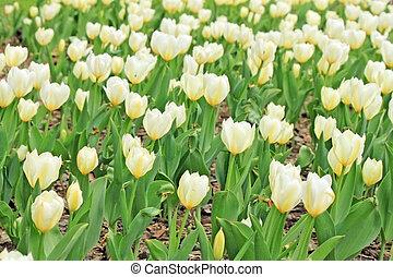 schöne , weißes, tulpen, auf, a, fruehjahr, feld