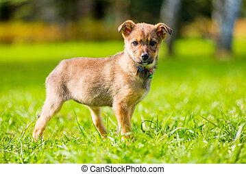 schöne , wenig, junger hund, park, spaziergang