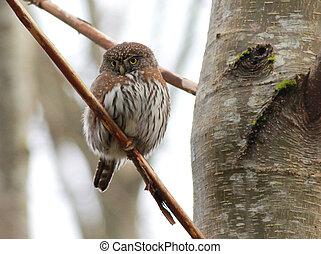 schüchtern, pygmy-owl, nördlich