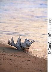 schaal, op het strand
