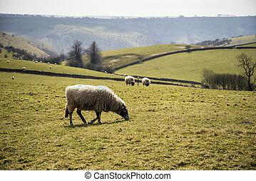 schaap, dieren, in, boerderij, landscape, op, zonnige dag, in, piekdistrict, uk