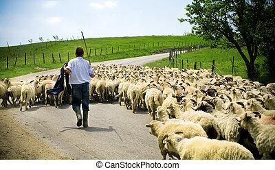 schaap, herdershond, zijn, kudde