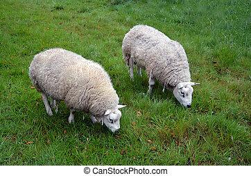 schaap, paar, het voeden, gras, natuur
